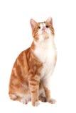 和查找隔绝坐白色背景的红色猫 库存照片