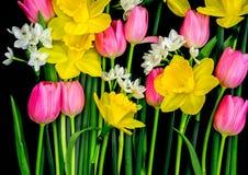 黄水仙和桃红色郁金香在黑背景 免版税库存照片