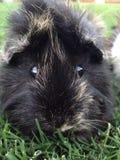 黑和棕色埃塞俄比亚guinnea猪 免版税库存照片