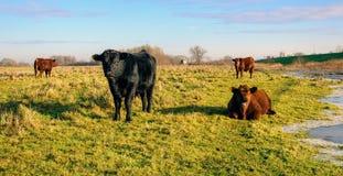 黑和棕色盖洛韦公牛在自然区域 免版税库存照片