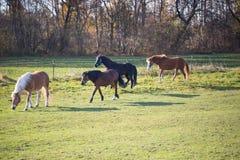 黑和棕色马在automn的一个晴天 免版税库存照片