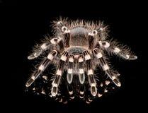 黑和棕褐色的塔兰图拉毒蛛 免版税库存照片
