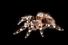 黑和棕褐色的塔兰图拉毒蛛 免版税图库摄影