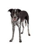 黑和灰色博德牧羊犬身分 免版税库存图片