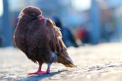 和睡觉坐在一个模糊的都市场面前面的鹅卵石路面的布朗鸽子在柏林 库存照片