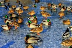 和站立坐在湖的冰的美丽的鸭子在冬天 免版税库存照片