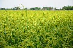 稻和米在泰国的领域背景 图库摄影