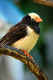 黑和米黄鸟 免版税库存图片