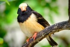 黑和米黄鸟 库存图片