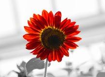 黑和红色向日葵 免版税图库摄影