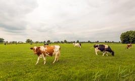 黑和红色察觉了吃草在荷兰草甸的母牛 免版税库存照片