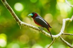 黑和红色Broadbill (Cybirhync hus macrohynchus) 免版税库存图片