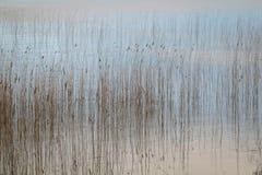 水和芦苇 库存图片