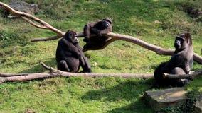 和谐大猩猩家庭和观看的大猩猩 股票视频