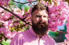 和谐概念 有时髦的理发的有胡子的人与佐仓花背景的 近桃红色衬衣的行家 免版税库存图片
