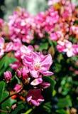 和谐Manzanita,花,植物 免版税库存图片