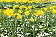 黄水仙和延命菊在公园 库存图片