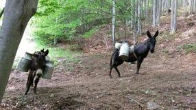 驴和驴子马在森林里 库存图片