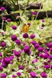 黑和黄色色的蝴蝶坐一朵紫色花 免版税库存照片