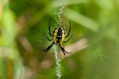 黑和黄色花园蜘蛛 免版税库存图片