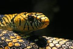 黑和黄色蛇 免版税库存照片