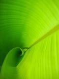 年轻和绿色香蕉叶子 免版税库存照片