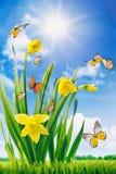 黄水仙和蝴蝶在领域 免版税库存照片
