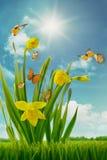 黄水仙和蝴蝶在领域 免版税库存图片