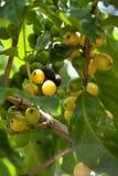 06咖啡危地马拉结构树 免版税库存照片