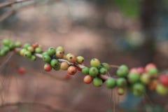 咖啡属阿拉伯咖啡莓果 库存照片