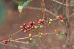 咖啡属阿拉伯咖啡莓果 库存图片