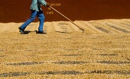 咖啡干燥 库存图片
