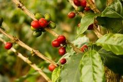 咖啡成熟的植物 免版税库存图片