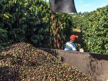 咖啡收获 免版税库存图片