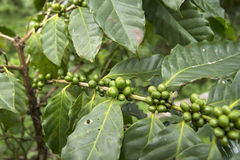 咖啡新鲜未加工 免版税库存照片