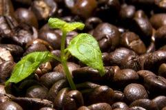 咖啡来源 免版税库存图片