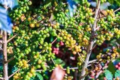 咖啡来离开种植种子词根 免版税图库摄影