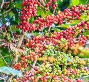 咖啡来离开种植种子词根 免版税库存照片