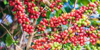 咖啡来离开种植种子词根 库存照片