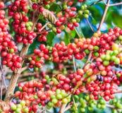 咖啡来离开种植种子词根 库存图片