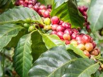 咖啡枝杈 免版税库存照片