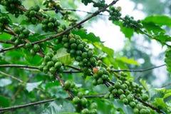咖啡树用在分行的绿色咖啡豆 免版税库存图片