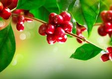咖啡树用成熟豆 免版税库存照片