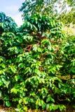 咖啡树用绿色和成熟豆 库存图片