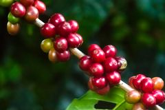 咖啡树用绿色和成熟豆 免版税库存图片