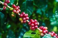 咖啡树用绿色和成熟豆 图库摄影