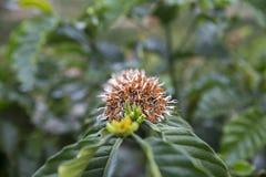 咖啡树的花 库存图片