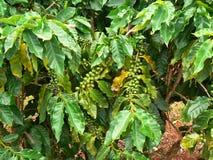 咖啡树 免版税库存图片