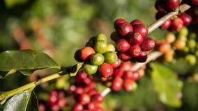 咖啡树 免版税库存照片