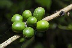 咖啡植物用青豆 图库摄影